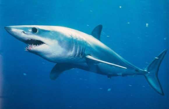 Обыкновенная акула мако